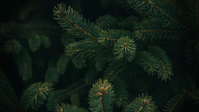 Christmas Tree Shortage.Christmas Tree Shortages Across The Country Attributed